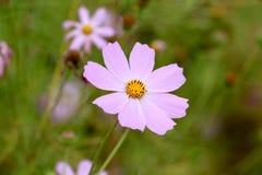 Kosmos blommar i trädgård arkivfoto