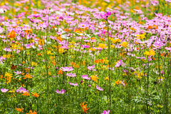 Kosmos blommar i trädgård Royaltyfria Foton