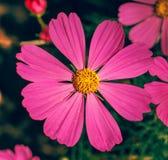 Kosmos blommar i trädgården Arkivfoto