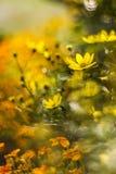 Kosmos blommar med bokeh Fotografering för Bildbyråer