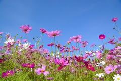 Kosmos blommar med den blåa himlen Arkivfoto