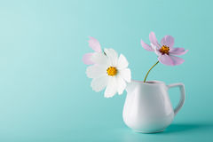 Kosmos blommar mjölkar in tillbringaren på aquafärgbakgrund Royaltyfri Foto