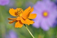 kosmos blommar orangen Arkivfoton