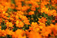 kosmos blommar orangen Arkivbilder