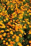 kosmos blommar orangen Royaltyfri Fotografi