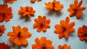kosmos blommar orangen