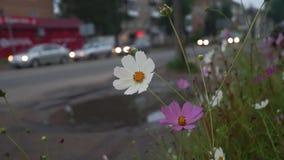 Kosmos blommar på gatan av den provinsiella staden arkivfilmer
