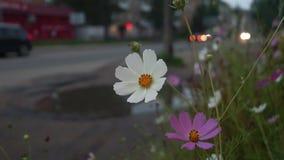 Kosmos blommar på gatan av den provinsiella staden lager videofilmer