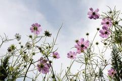 Kosmos blommar på parkera Royaltyfri Bild
