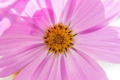 kosmos blommar pink Arkivfoto