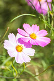 kosmos blommar pink Royaltyfri Fotografi