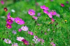 kosmos blommar pink Royaltyfria Bilder