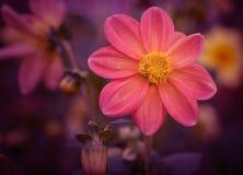 kosmos blommar pink Royaltyfri Bild