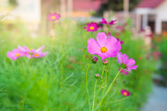 kosmos blommar pink Arkivfoton