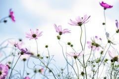 kosmos blommar pink Fotografering för Bildbyråer