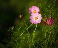 kosmos blommar pink Färg tonad bild Arkivfoton