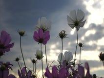Kosmos blommar rörelse under härlig himmel i sommar stock video