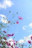 Kosmos blommar rosa färger Arkivbild