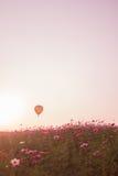 kosmos blommar solnedgång Royaltyfri Foto