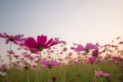 kosmos blommar solnedgång Royaltyfri Fotografi