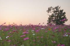 kosmos blommar solnedgång Royaltyfria Bilder