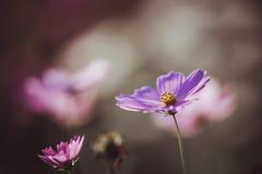 Kosmos blommar tätt upp på solnedgångbakgrund med mjukt selektivt Arkivfoton