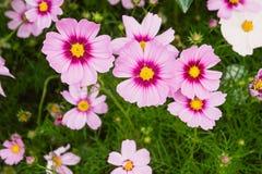 Kosmos blommar tappning, blommaträdgården, rosa naturblommor Fotografering för Bildbyråer