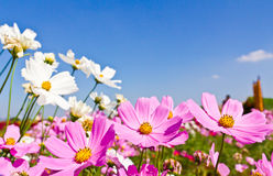 kosmos blommar trädgården Arkivfoto