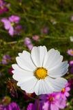 kosmos blommar white Royaltyfri Fotografi