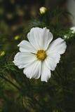 kosmos blommar white Royaltyfria Foton