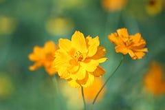 kosmos blommar yellow Fotografering för Bildbyråer