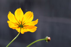 kosmos blommar yellow Royaltyfria Foton