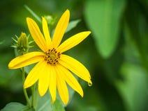 kosmos blommar yellow Royaltyfria Bilder