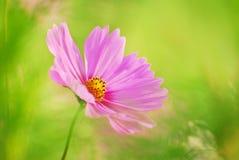 Kosmos-Blume Lizenzfreie Stockbilder
