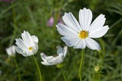 Kosmos-Blumen lizenzfreie stockfotografie