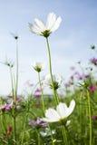 Kosmos-Blumen stockbild