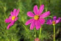 Kosmos-Blumen lizenzfreie stockbilder