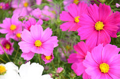 Kosmos-Blumen-Feld an der Landschaft Nakornratchasrima Thailand Lizenzfreie Stockfotos