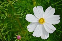 Kosmos-Blumen-Feld an der Landschaft Nakornratchasrima Thailand Lizenzfreies Stockbild