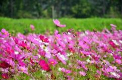 Kosmos-Blumen-Feld von Jim Thompson Farm Stockfotografie