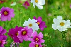 Kosmos-Blumen-Feld von Jim Thompson Farm Lizenzfreies Stockbild