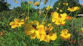 Kosmos-Blumen-Garten im August stock footage