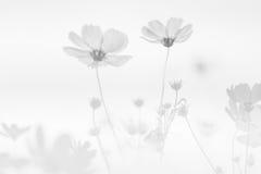 Kosmos-Blumen-Hintergrund Lizenzfreie Stockfotos