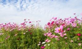 Kosmos-Blumenfeld mit blauem Himmel, Frühlings-Saison blüht Stockfoto