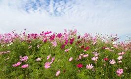 Kosmos-Blumenfeld mit blauem Himmel, Frühlings-Saison blüht Stockbilder