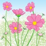 Kosmos-Blumenrosa Lizenzfreie Stockfotografie