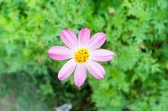 Kosmos caudatus Blume lizenzfreie stockbilder
