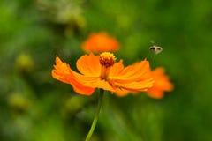 Kosmos för lösa blommor på en sommardag arkivbild