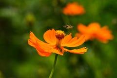 Kosmos för lösa blommor på en sommardag fotografering för bildbyråer