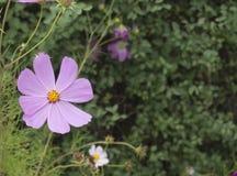 Kosmos i blom i en parkera Royaltyfri Bild